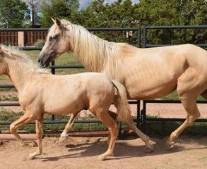 Peruvian paso mare and colt