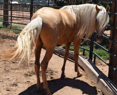 Miguel Peruvian Paso Colt 3 yrs old